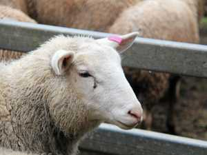 BUTCHERED: Sheep stolen, cut up on Southern Downs