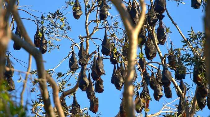 Bats, flying fox in trees at Elizabeth Street, Coolum.