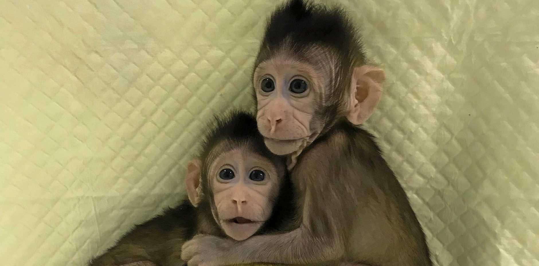 Cloned monkeys Zhong Zhong and Hua Hua appear to be developing normally.