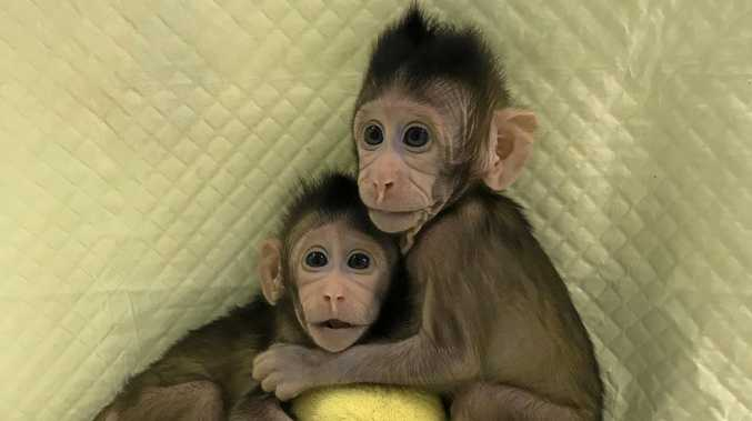 Cloned monkeys Zhong Zhong and Hua Hua appear to be developing normally.