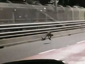 Harbour Bridge wallaby to go home