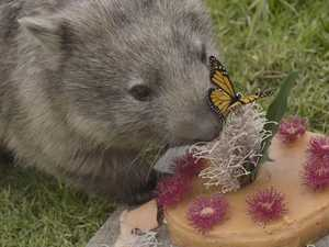 Millie the wombat eats entire cake on birthday