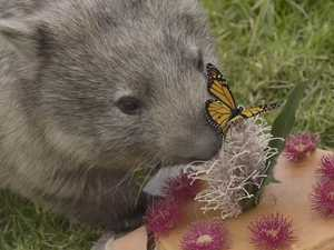 Millie the wombat eats all the cake at her birthday