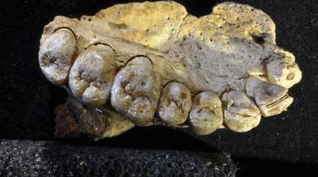 A portion of the upper left jaw and teeth from the Misliya-1 fossil. Picture: Gerhard Weber
