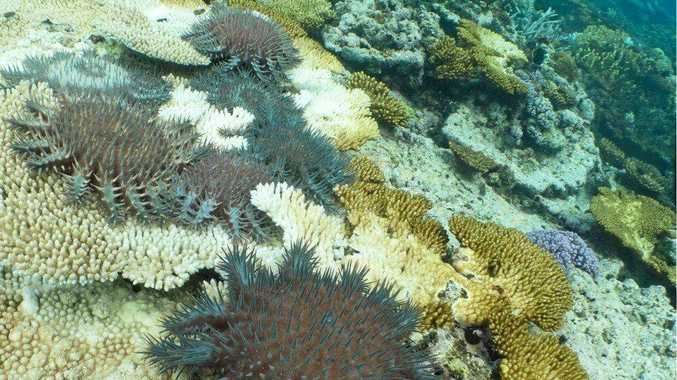 Bruce Stobo and divers on the Kanimbla destroyed 47,000 crown of thorns starfish on an eight-day trip to Swain Reefs in January.