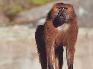 Baboons' escape prompts hospital protest