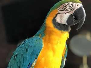 Have you seen Toowoomba macaw Meeka?