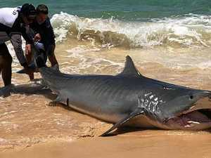 WATCH: 4m tiger shark hooked on Fraser Island