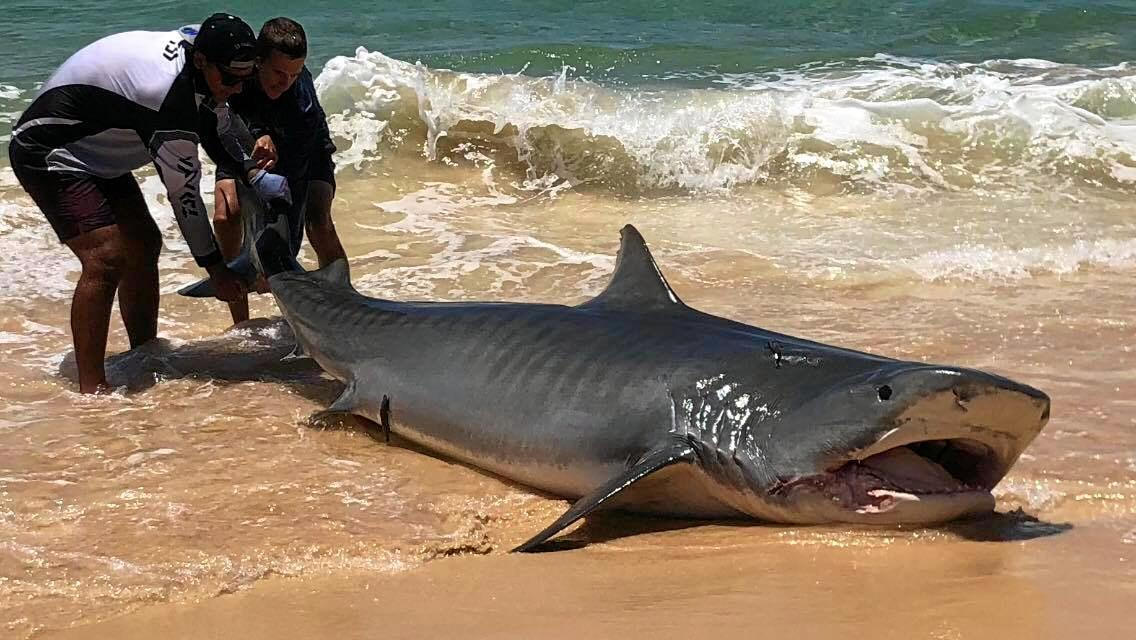 REELED IN: A 4m tiger shark was reeled in off Fraser Island on Saturday.