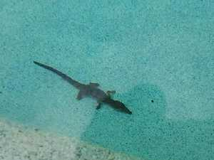 Crocodile found in Townsville swimming pool