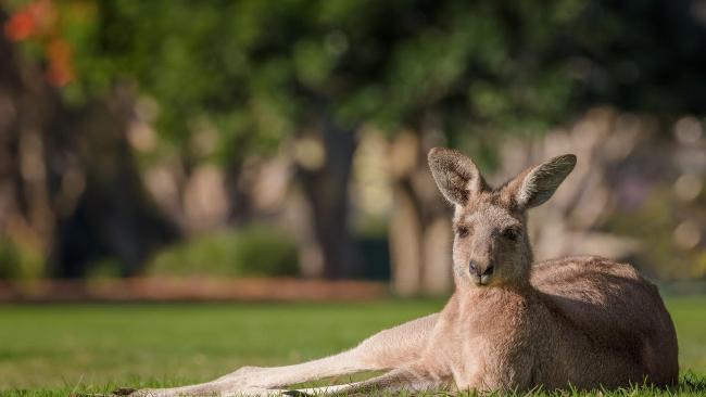 This is Marshal the Southport Golf Club kangaroo