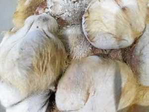 Hairy testicles, knee caps, possum on pet menu