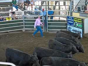 NNSW cattle markets: Solid returns for vealers