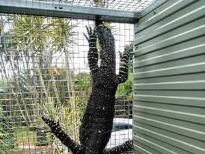 Stray 'Godzilla' rescued from mango tree