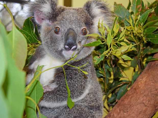 NEEDING SHELTER: Mafeking is one of many koalas this gathering aims to save.