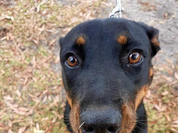 POOR PUP: This nine-month-old Rottweiler was in a world of pain after two hooks pierced through her mouth and lip.
