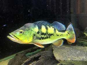 Numbers of peacock bass in Pioneer 'very low' tests confirm