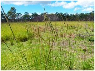 INVASIVE WEEDS: Flood water has helped spread weeds, such as giant rat's tail grass, through the region.  Photo Contributed