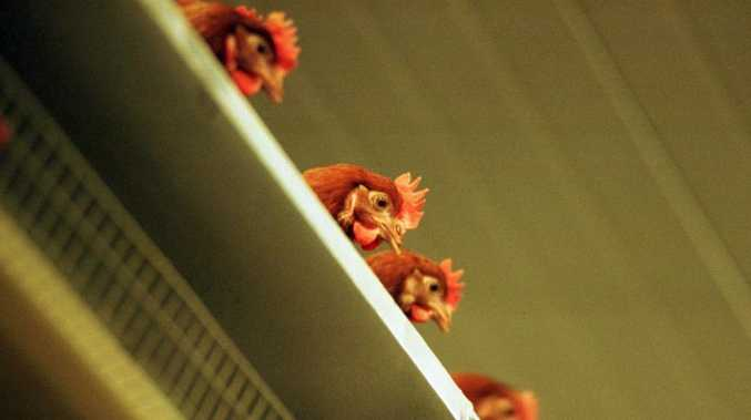 Perch push: Western Australian and Victorian agriculture ministers want farmers to furnish hens' cages with perches, nets and scratch pads.