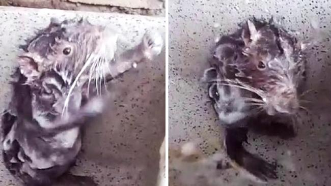 What appears to be a rat washing itself down in Peru. Picture: Jose Correa / Caters News.