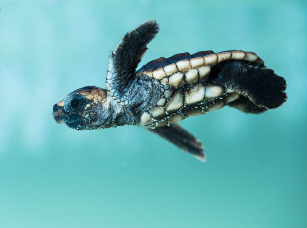 Don't miss these cute loggerhead turtles as they hatch at the World Science Festival Brisbane. PHOTO: Queensland Museum