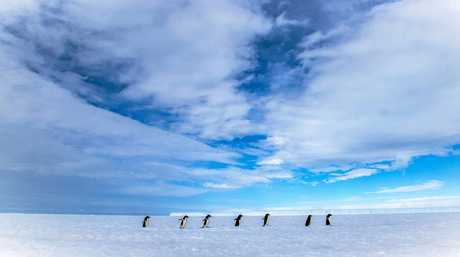 THE LOCALS: Penguins make their way across the polar ice.