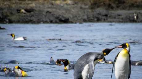 King Penguins on Macquarie Island.