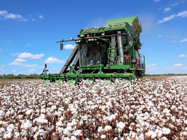 SNOW ON THE VERGE: Cotton from the Central Highlands is exported.