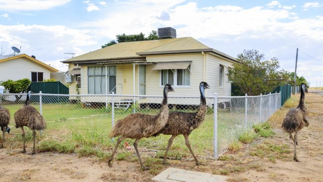Large groups of emus have taken over the town. Picture: Lachie Millard
