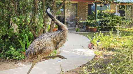 Ssevere drought conditions afre forcing Emus into the town. Picture: Lachie Millard