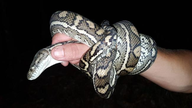 The carpet python found at the Banksia Beach couple's home twice in a month.