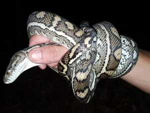 Snake attacks husband one month after biting wife