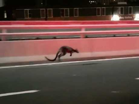 The wallaby which stopped traffic on the Habour Bridge in January.