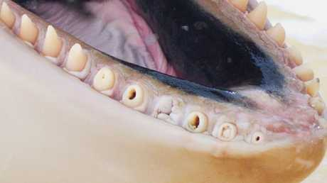 The whales in France's facility had some of the worst teeth Dr Visser has seen among orca in captivity.