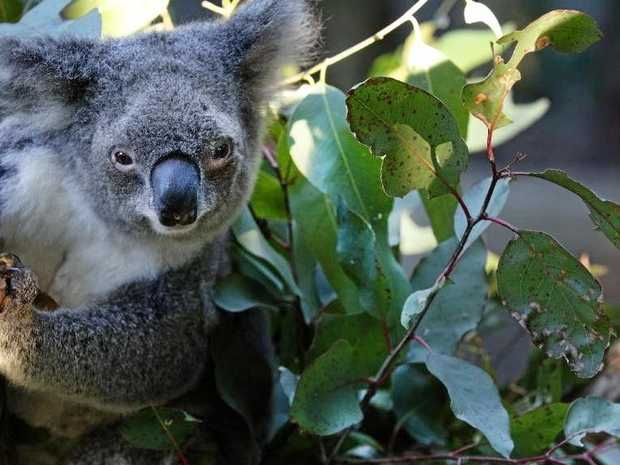 DIVIDE: The Great Koala National Park debate is set to be elevated onto the political platform of next year's State Election.