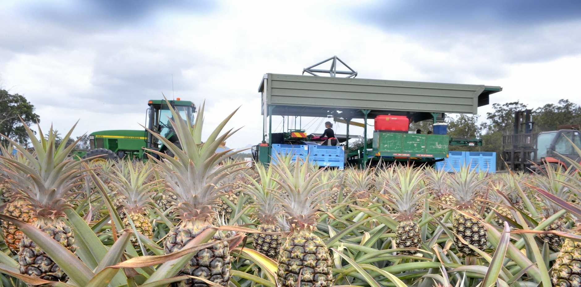 A pineapple farm.