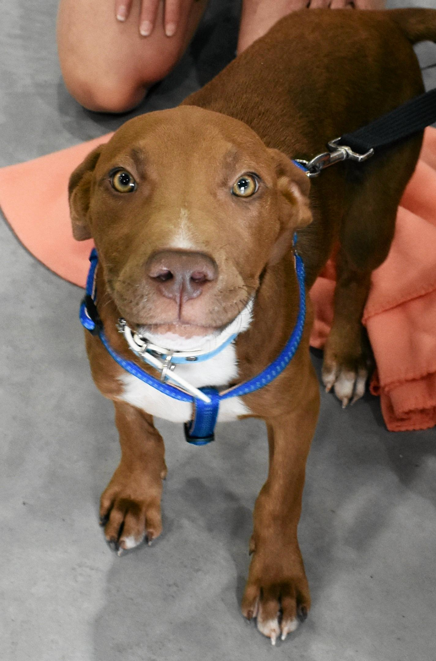 Hudson is a four and a half month old kelpie/American staffy cross who is currently looking to be adopted from the Gympie RSPCA.