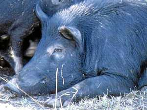 Warning issued for feral pig hunters