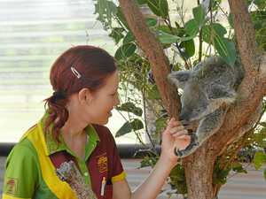 Ecotourism called a strength as koala debate hots up