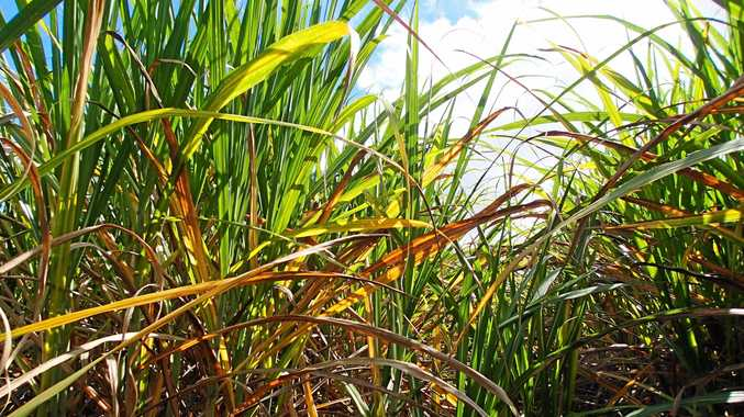Yellow Canopy Syndrome is affecting sugar cane in the Mackay region.