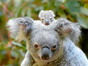 Koala Park is key to species survival