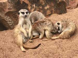 Meerkat tries to cutely ward off The Sandman