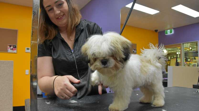 JUST FOR PETS: Noosa Pet Barn Saloon groomer Amy Mitchell helps tame the fluff on this puppy.