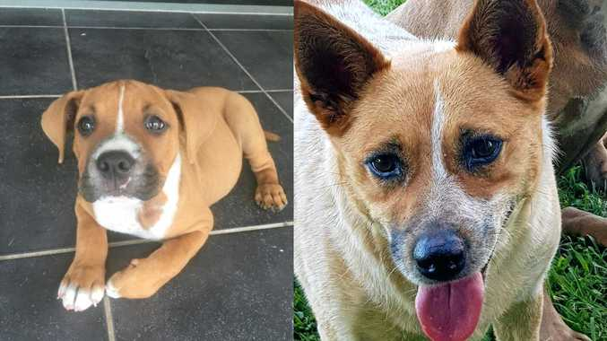 Ten-week-old Macey, an American staffy-bulldog cross and four-year-old Reba, a cattle dog-Jack Russell terrier cross fell victim to what vets believe was a brown snake bite near Sarina.