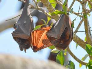 New techniques change how council battles with flying-foxes