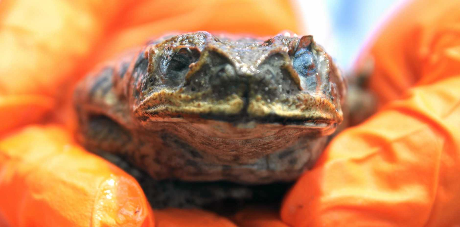 UNWELCOME VISITOR: Council officers suspect this cane toad hitched ride to town after it was discovered at the showgrounds.