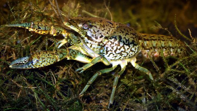 Marbled crayfish are all female and capable of fertilising their own eggs. The fact they carry three sets of chromosomes appears to enable them to adapt to a wide variety of environments.