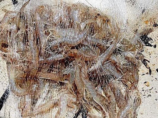 PRAWN FEAST: A top pocket net with a good haul of prawns.