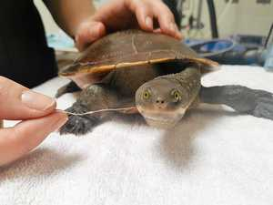 Turtle hooked and helped by WIRES
