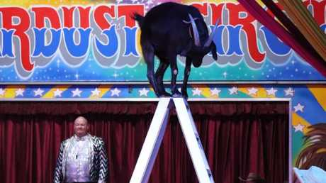 A goat climbs a ladder as part of the act in the Stardust Circus.